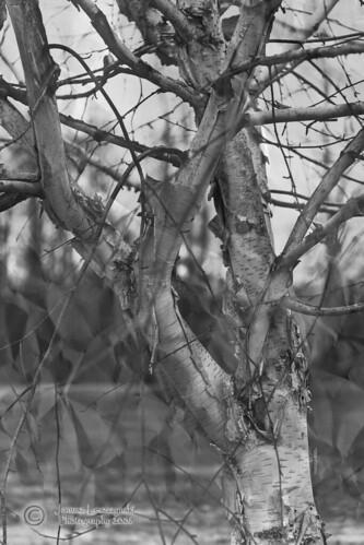 winter cold tree texture naked geotagged glen valley birch langley janusz leszczynski 3432 platinumphoto surreyphotographyclub geo:lat=49147107 geo:lon=122471809