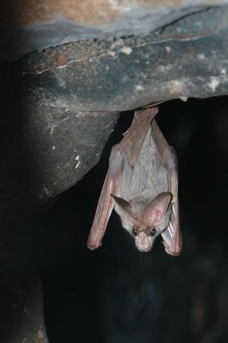 Ghost Bat   by mamamusings