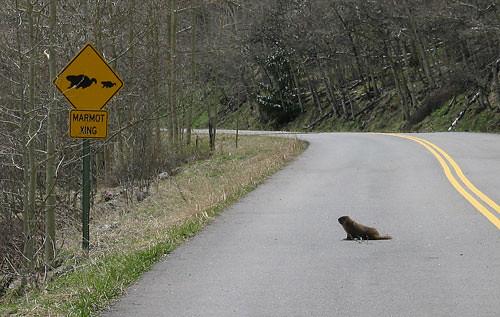 Marmot Crossing | On Maroon Creek Rd  in the Maroon Bells-Sn