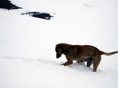 Snow - 11 - Snow dog (Large)