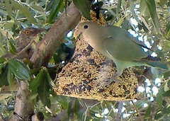 Blue Lovebird and Yelloweye