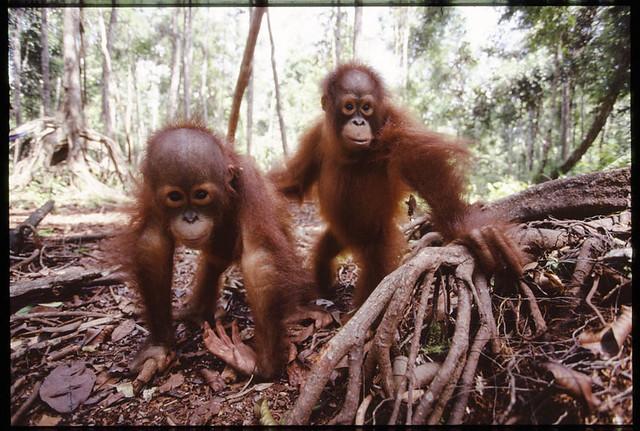 palm oil orphans