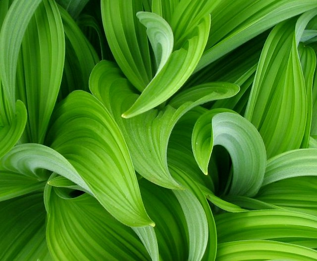 corn lily leaves