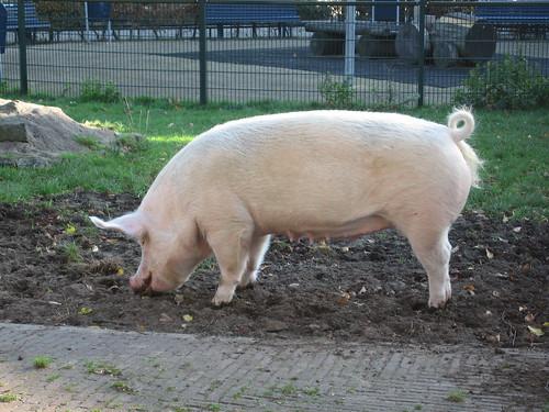Het varken Truus   by Jemanitori