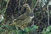 Spruce Grouse (Falcipennis canadensis) male; around Watson Lake, Yukon, Canada. by cbrozek21