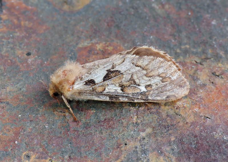 3.003 Map-winged Swift - Korscheltellus fusconebulosa