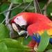 Guacamayas, Lapas o Papagayos - Photo (c) Takashi Muramatsu, algunos derechos reservados (CC BY)