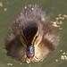 Wells ducks: new arrivals 2008