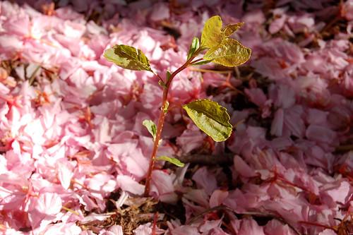 Sapling in Petals