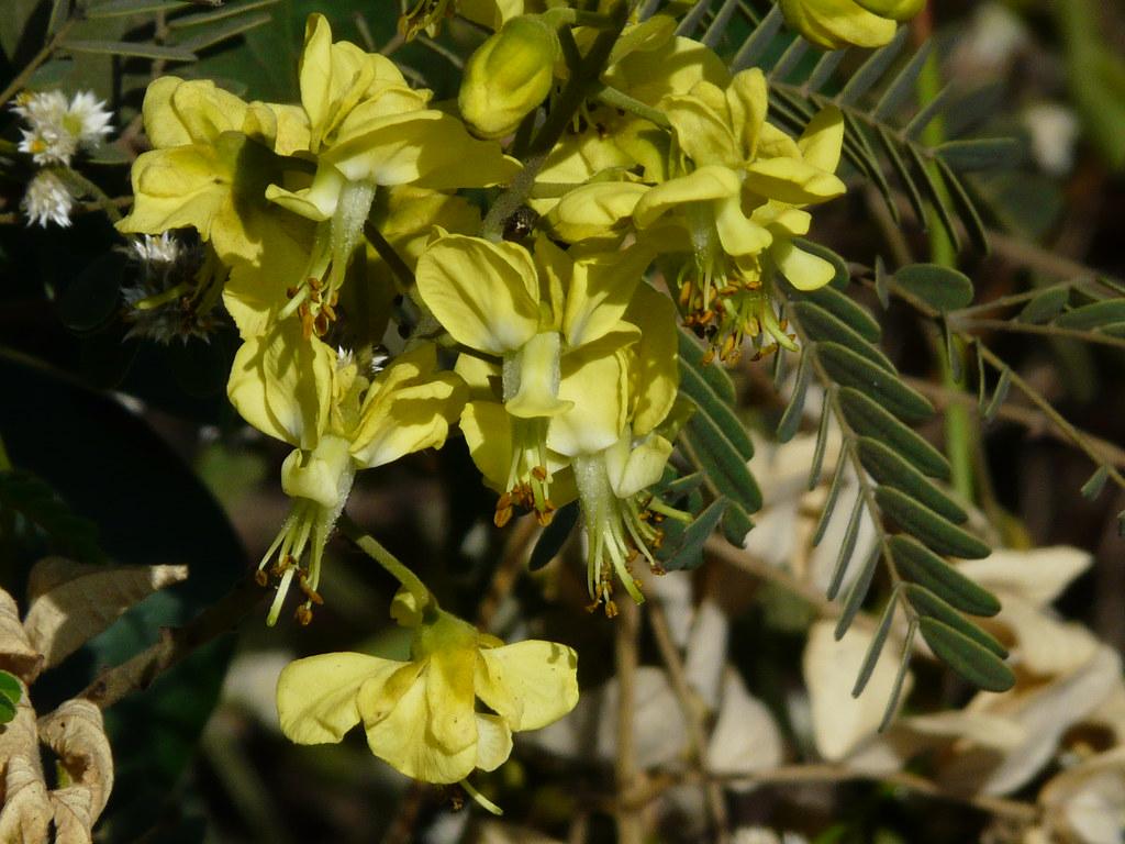 Chilhari (Marathi: चिल्हारी) | Caesalpiniaceae