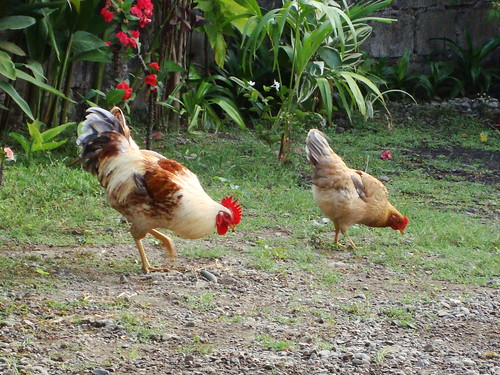 Chickens | by iandexter