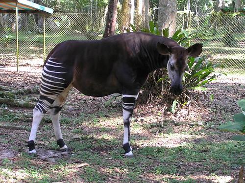 Mon, 03/12/2007 - 10:34 - Okapi. Credit: CTFS