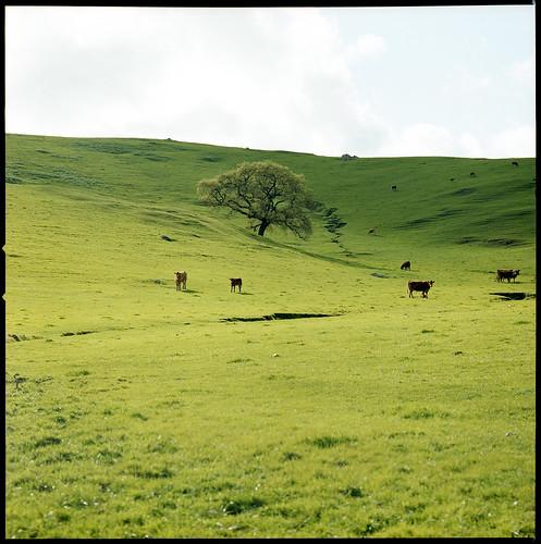 green 120 film grass cows kodak hill hasselblad pasture sonomacounty portra 500cm 400nc 120mmcf gettyset