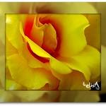 Yellow-Lucious