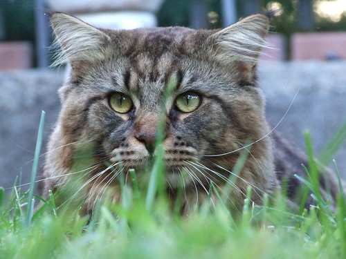 Maine Coon - Creative Commons by gnuckx | by gnuckx
