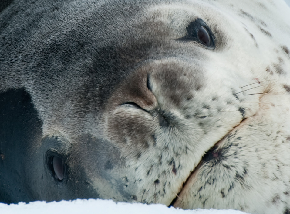 I Am Leopard Seal
