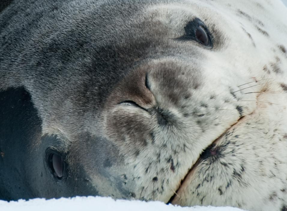 I Am Leopard Seal