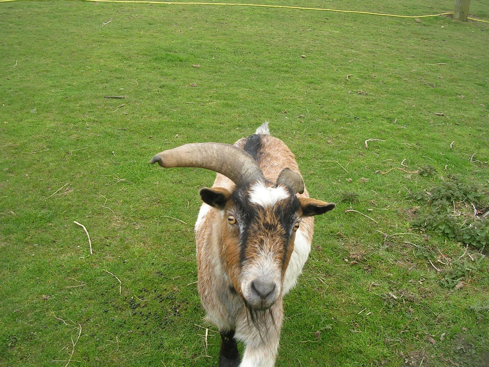 The goat gang Goat A Manningtree circular.