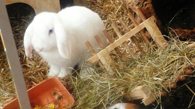 Long eared rabit in pet shop