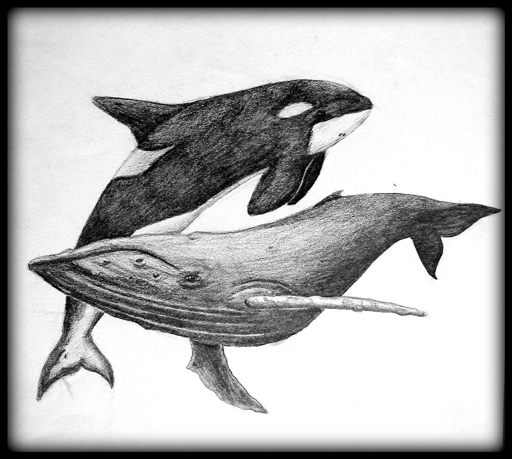 Whales pencil drawing of whales not to scale alysha