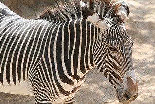 zebra | by Amy the Nurse