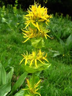 Gentiana lutea - Great Yellow Gentian | by loveexploring