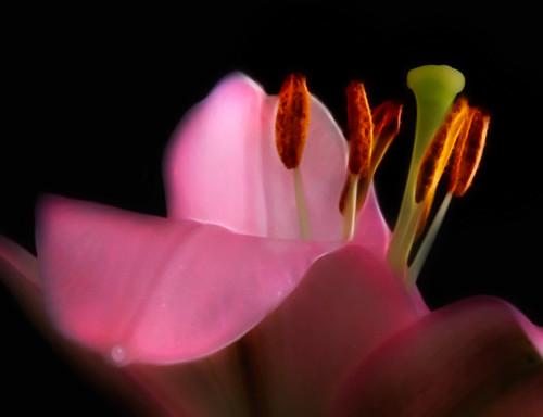 pink flowers macro yahoo dof bokeh onblack asiaticlily pistils worcesterma blueribbonwinner friendlychallenge