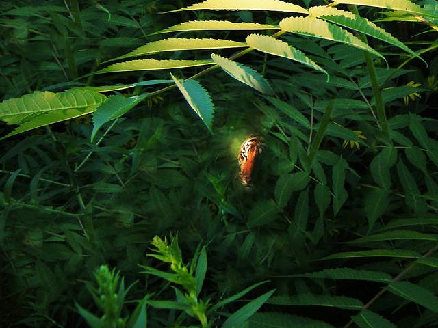 Underbrush In Owen Park Is So Dense Its >> The Phantom Tiger Of Owen Park Feb 13 2010 Note I M Jus Flickr
