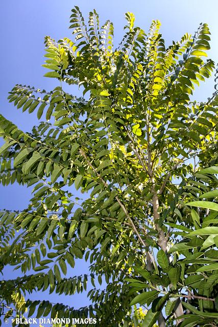 Cedrela odorata - Barbados Cedar,Cigar Box Cedar,Spanish Cedar,West Indian Cedar