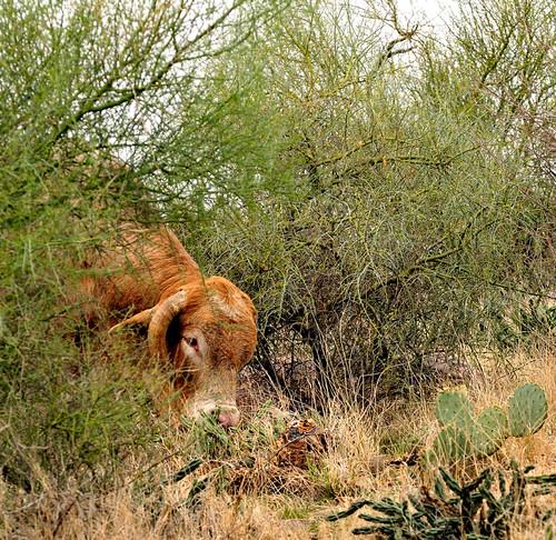 arizona cactus usa southwest america landscape outdoors cow nikon scenery az bull ghosttown d300