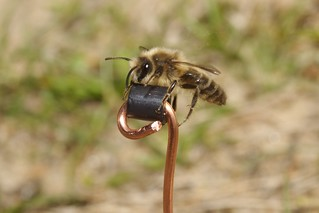 Colletes cunicularius | by Nico's wild bees & wasps