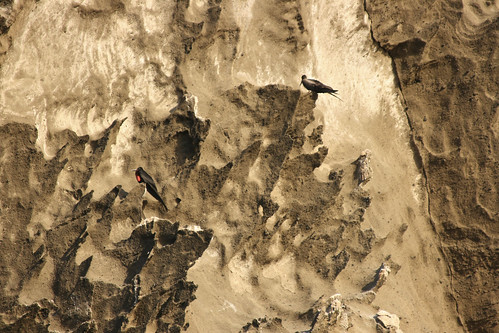 Frigate Birds on the Rock Face   by stirwise