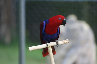 Female Eclectus Parrot | by auburnxc