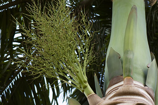 Roystonea oleracea (Arecaceae) | by -- Green Light Images --