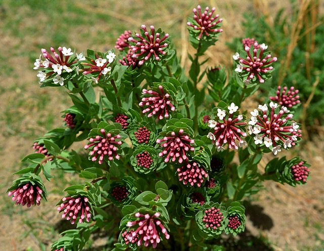 stellera chamaejasme རེ་ལྕག་པ་ rechakpa, Tibetan Flowers.