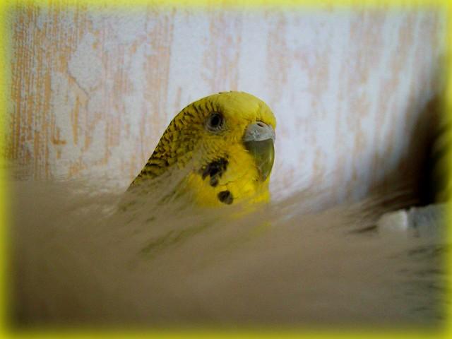 My parrot:Csipisz