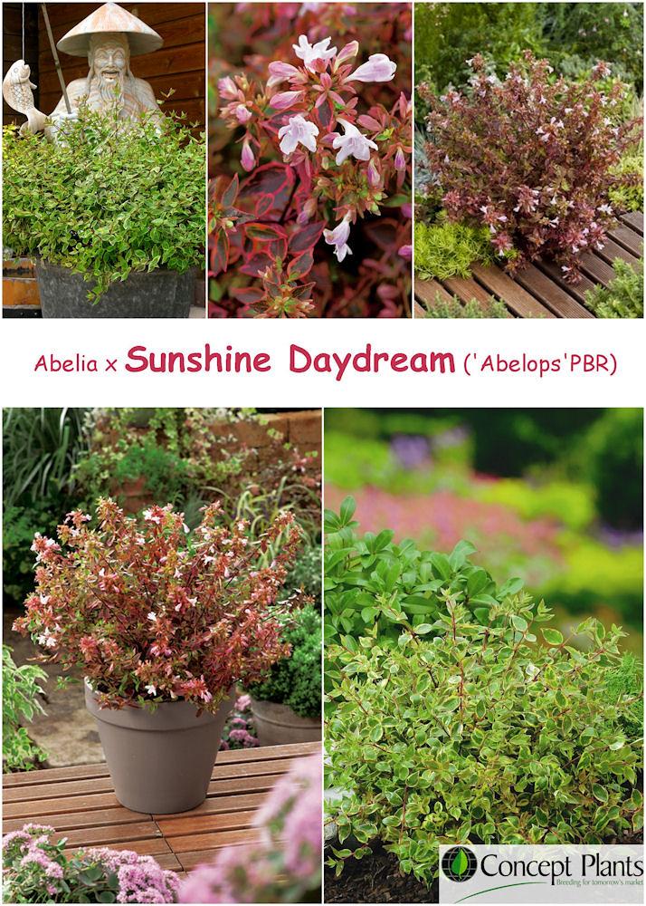 Abelia Grandiflora Sunshine Daydream Abelops Sellingpoints Flickr