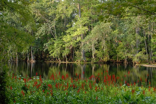 trees plants nature river landscape cypress ocalanationalforest silverriver theunforgettablepictures silverriverstatepark betterthangood