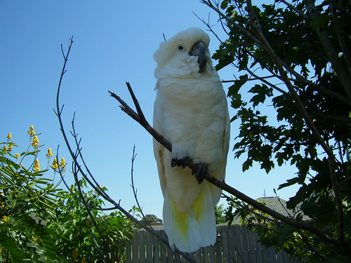 backyard cockatoo