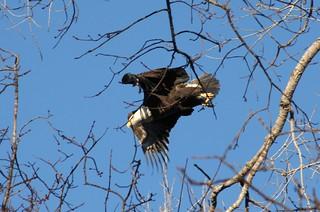Bald Eagle   by Knotgood