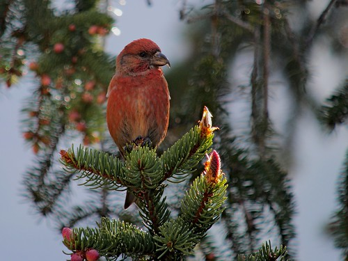 Male Common Crossbill (Loxia curvirostra), Karwendel mountains, Austria | by Frank.Vassen