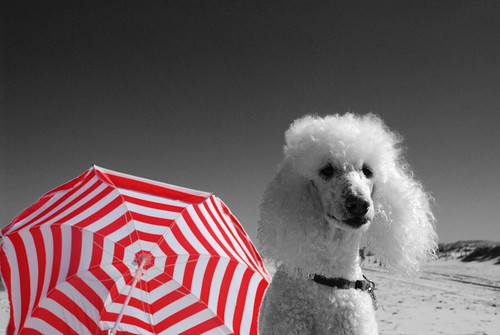 Target Poodle | by lakewentworth