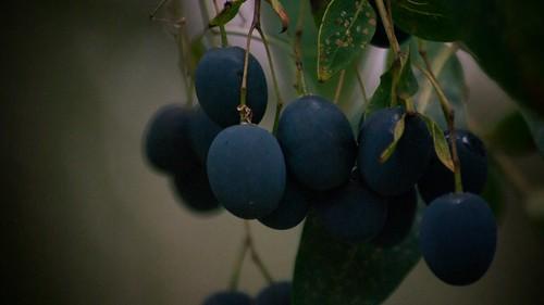 blue tree rain closeup fruit geotagged berry outdoor sigma70300mmf456apomacrosuperii imagetype photospecs