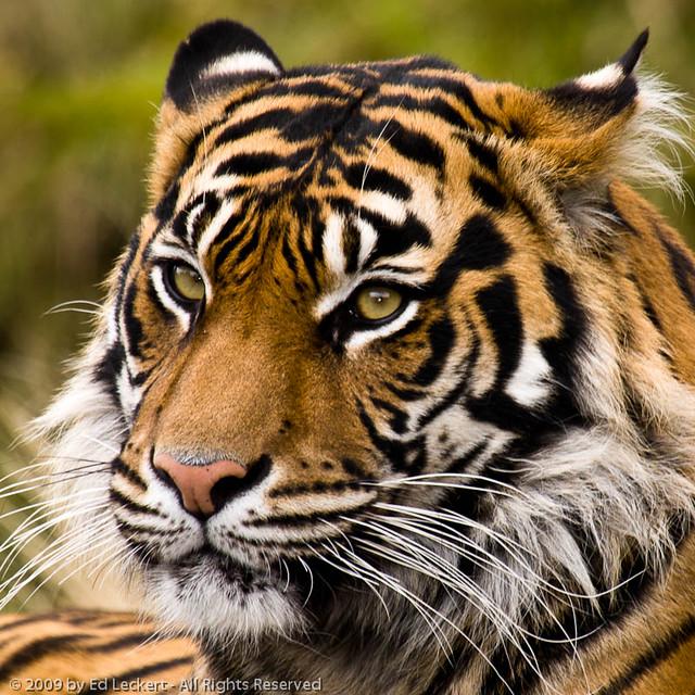 Sumatran Tiger, Point Defiance Zoo and Aquarium, Tacoma, Washington