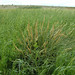 Flickr photo 'Triglochin maritima (Seaside Arrowgrass / Schorrenzoutgras) 1310' by: Bas Kers (NL).
