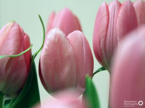 154/365 Splash of Pink | by Hexagoneye Photography