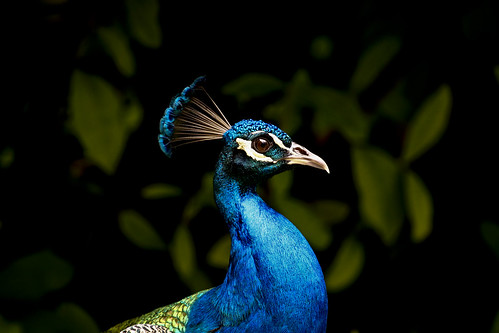 Peacock   by timkelley