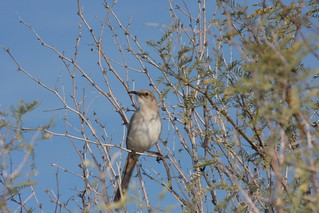 LeConte's Thrasher (Toxostoma lecontei) | by Dominic Sherony