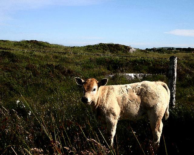 Connemara roadside calf