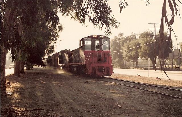 Eucalyptus 1 - SP 2470